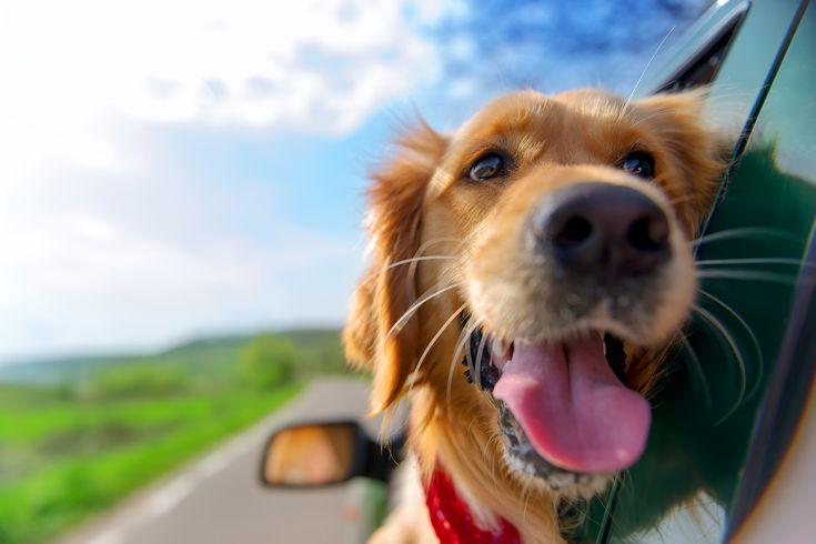 Tudo pronto para o feriado? Confira dicas de cuidados com os pets durante a viagem.