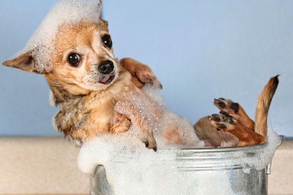 Veja aqui como fazer um shampoo anti-pulgas para cães e gatos. Resolve o problema das pulgas, com a vantagem de não provocar efeitos colaterais!