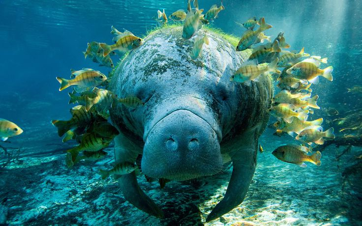 This Manatee is swarmed by fish in the water.  Manatees are most commonly found in warm-water climates such as Florida, the Caribbean, and even the West Coast of Africa.