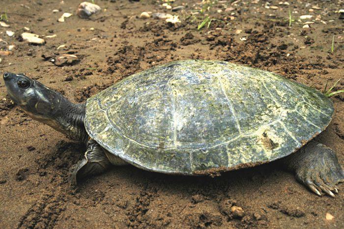 Magdalena River Turtle