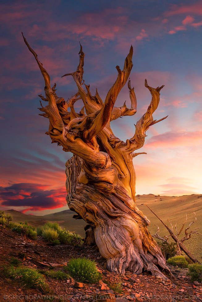 For those that haven't seen this shot yet... Here is a refreshed version of my Bristlecone Pine tree shot. Please view it on black.