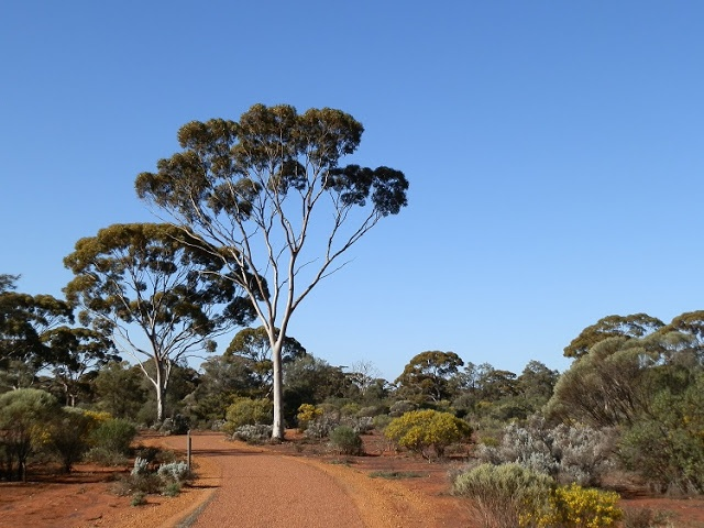 A taste of the #Outback at Karlkurla Bushland Reserve, #Kalgoorlie, Western #Australia