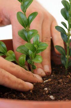 Compost para la propagación de bonsái mediante esquejes