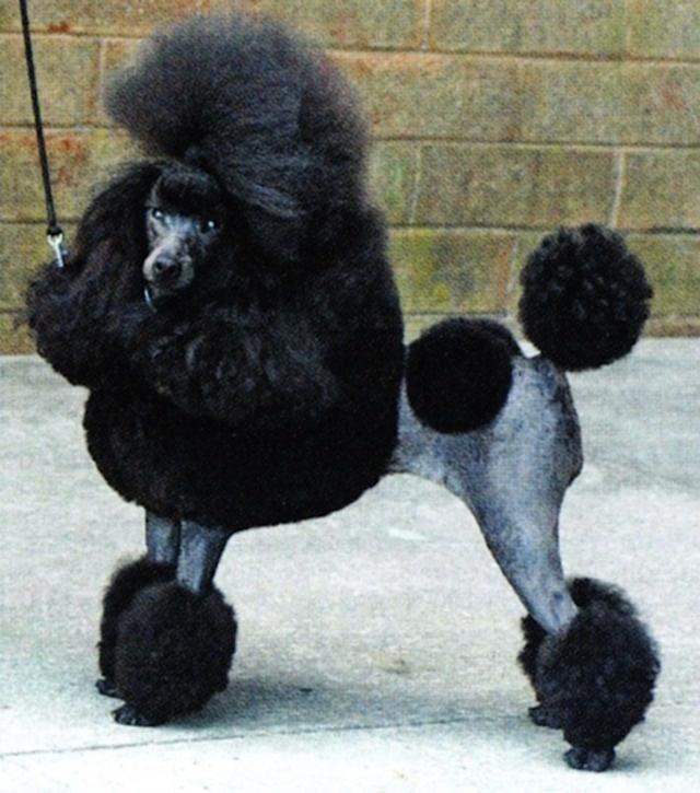 The 29 Best Poodle Images On Pinterest Mini Poodles Poodles And