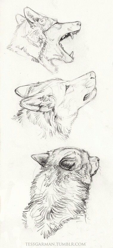 Wolf pencil drawing