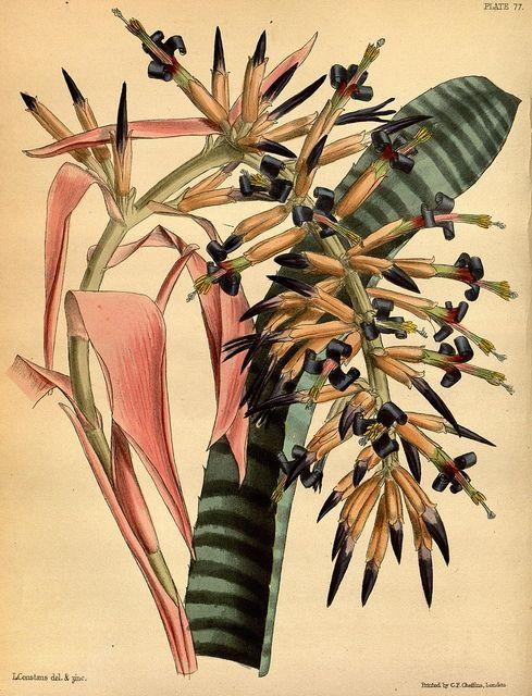 Biodiversity Heritage Library-The Morel Billbergia ( Bromelaid) Professor Lindley and Joseph Paxton