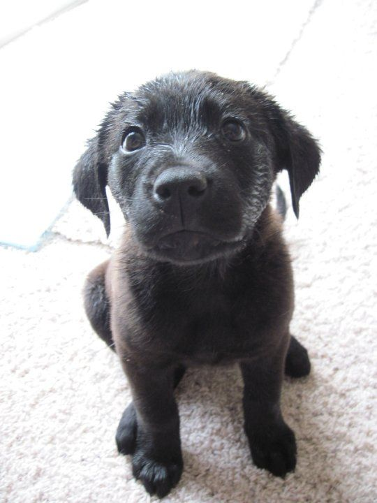 Can we play in the sprinklers again?: Adorable Puppys, Labrador Sprinkler, Black Labrador Puppys, Lab Puppies, Plays, Black Labs Puppys, Holiday Pies, Black Labrador Puppies, Beautiful Puppys