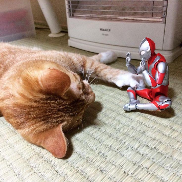 「ほれ、近う寄れ」「ああっお代官様いけませぬ」 #猫 #子猫 #茶トラ #cat #kitten