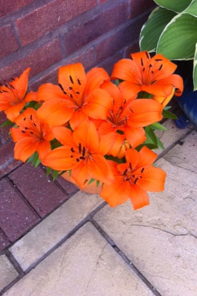 Orange Lilies are my favourite <3