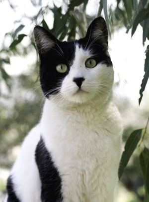 Black and White Cat by Norma (so distinctive, beautifully ...