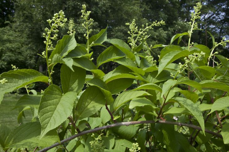 The 'thunder god vine' or lei gong teng is aChinese plant actually integrated into Chinese medicine and has been used for ages in remedying a number of conditions including rheumatoid arthritis Chinese plant plant compound WIPES OUT CANCER IN 40 DAYS says new research.Minnesota's Masonic Cancer Center, the thunder god plant compound led to no signs of tumors after a 40 day period — even after discontinuing the treatment.
