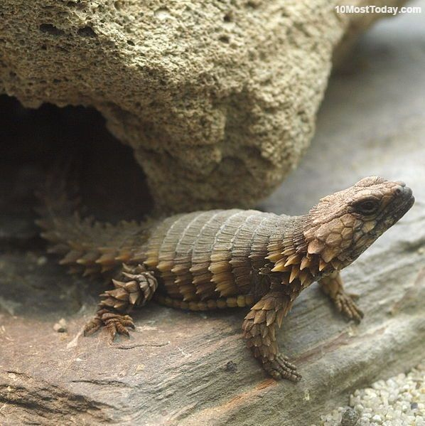 Image result for Armadillo spiny tailed lizard