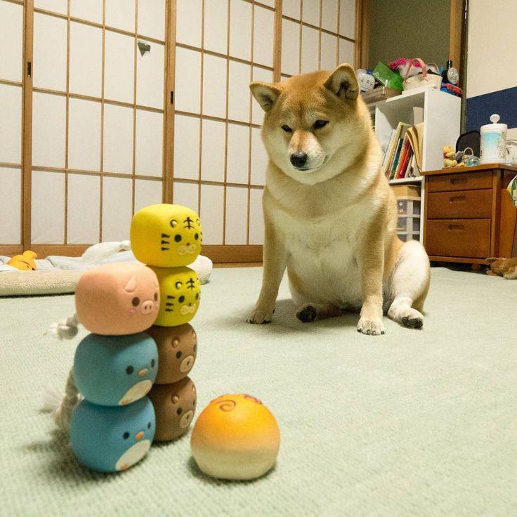いいね!123件、コメント2件 ― Takayuki Itoさん(@tkivivo)のInstagramアカウント: 「よーい #shibamania #shibainu #shibadog #shibastagram #shibalove #柴犬 #しばいぬ」
