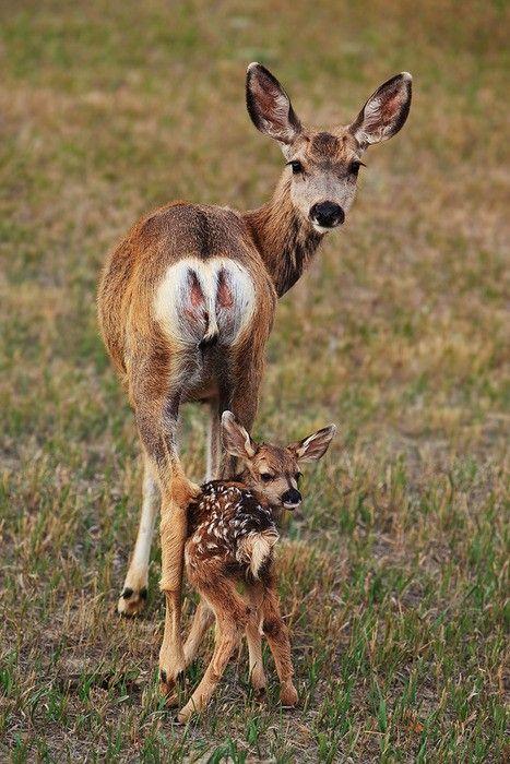 A 2 day old mule deer fawn follows it's mother's gaze by Doug Roane