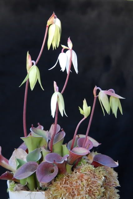 Heliamphora with highland Nepenthes | Carnivorous Plants in the tropics