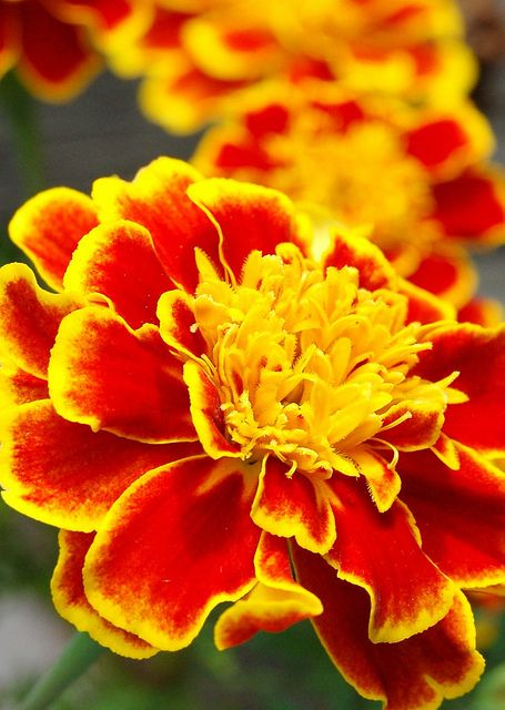 marigold- I love marigolds! I love how they smell, and they remind me of my Babci and Dziadzi's house