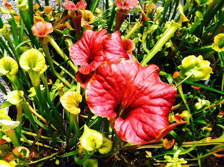 A colorful profusion of happy Carnivorous plants