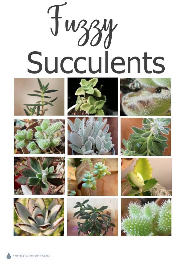 Fuzzy Succulents Succulent Plants With Fuzzy Velvety Leaves Planting Succulents Succulents Plants