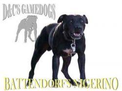 GameDogs Pedigree: D&C GAMEDOGS' (BATTENDORF'S) CH  NIGERINO