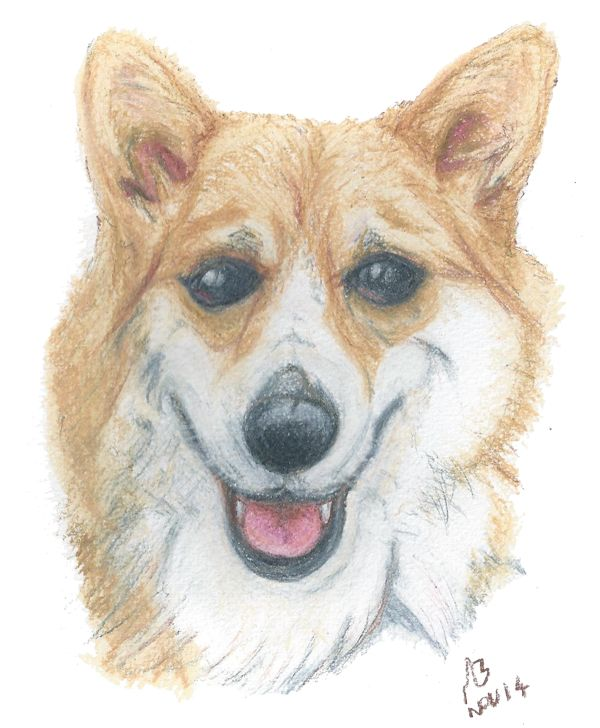 A watercolour pencil drawing of a Corgi. This drawing was created on watercolour paper using Derwent Academy skintone watercolour pencils. Drawn: 2 November 2014 Media: Paper, Watercolour Pencil #dog #dogs #corgi #art #artwork #artist #pet #portrait