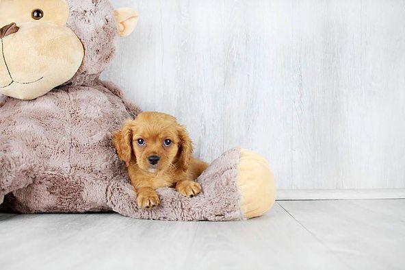 Puppies For Sale Columbus Ohio Sunrise Pups Small Breed Puppies With Images Puppies For Sale Pup Puppies
