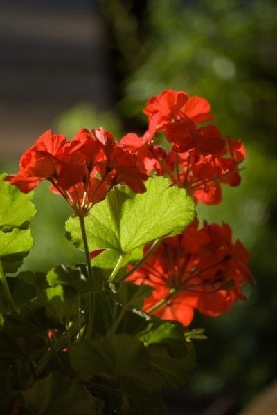 Pruning Geraniums - How To Pinch Geraniums For Better Growth