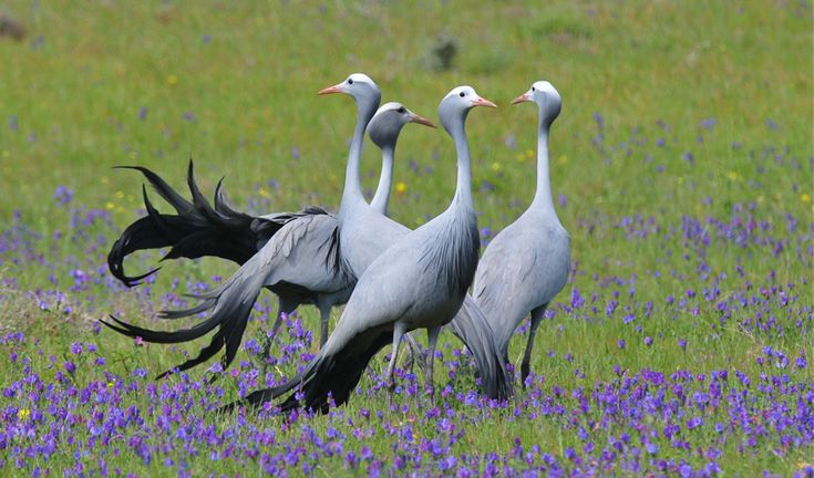 South Africa's National Bird: Blue Crane -- sadly endangered