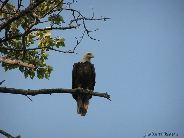 Bald Eagle, Restigouche river