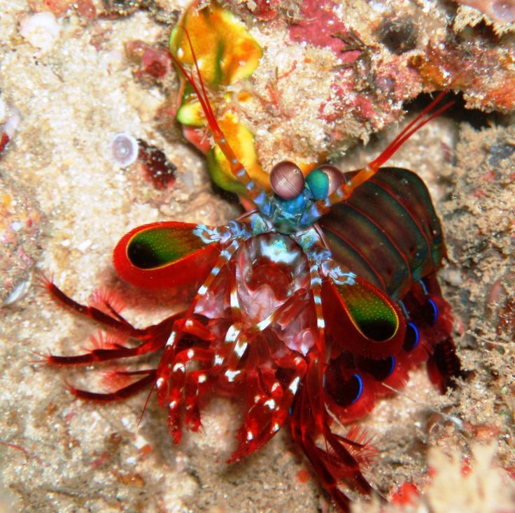 13 best Mantis Marina images on Pinterest   Stomatopoda, Vida en el ...