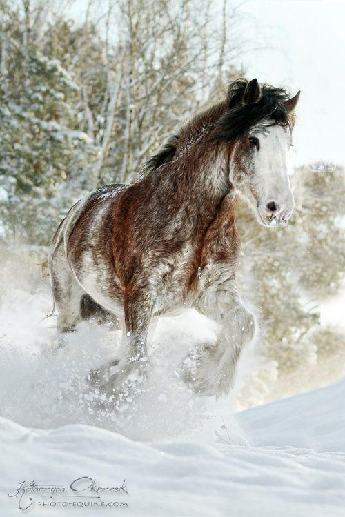 Clydesdale stallion.