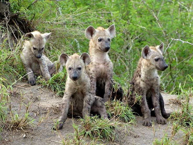 Hyena Sanctuaries in Maharashtra, India @ Sanctuariesindia.com