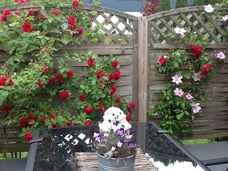 My Roses and Clematis are beautiful now!