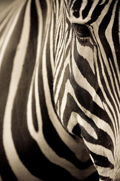 Zebras are cool as fuck