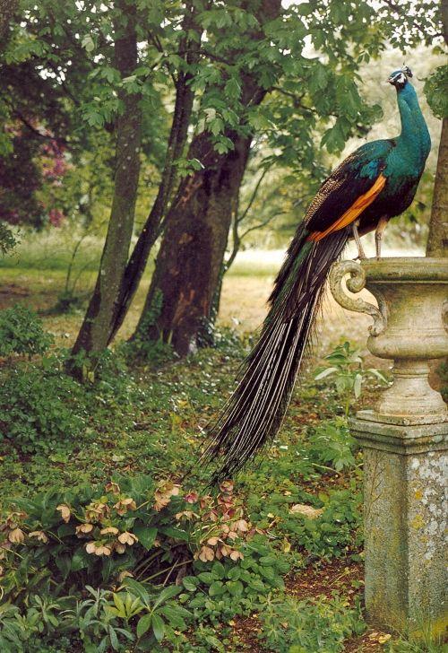 Peacock in a woodland garden...