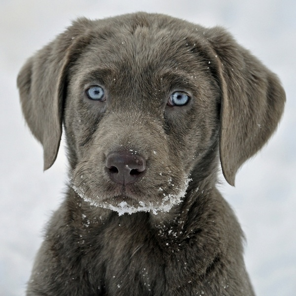 Silver Labrador Puppy. My goodness, look at those eyes!