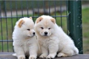 white chow chow puppies for sale