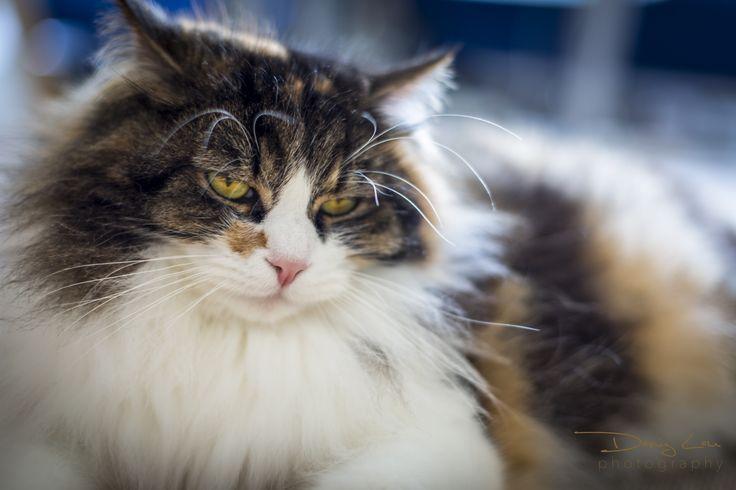 Langhaarige Katze