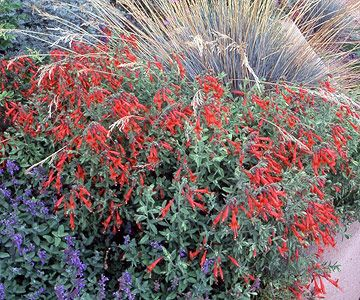 Hummingbird Trumpet  Another hummingbird favorite (as you probably guessed by the name), this plant offers beautiful late-summer orange and red flowers and a ground-hugging habit.  Name: Zauschneria californica  Growing Conditions: Full sun and well-drained soil  Size: To 1 foot tall  Zones: 8-10