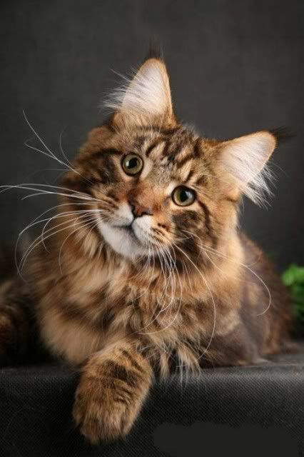 Maine coon - such a beautiful and very big cat!