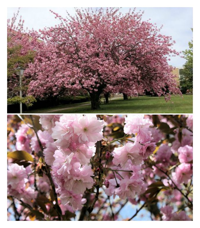 Spring Flowering Trees Pretty In Pink And White Deciduous Shrubs