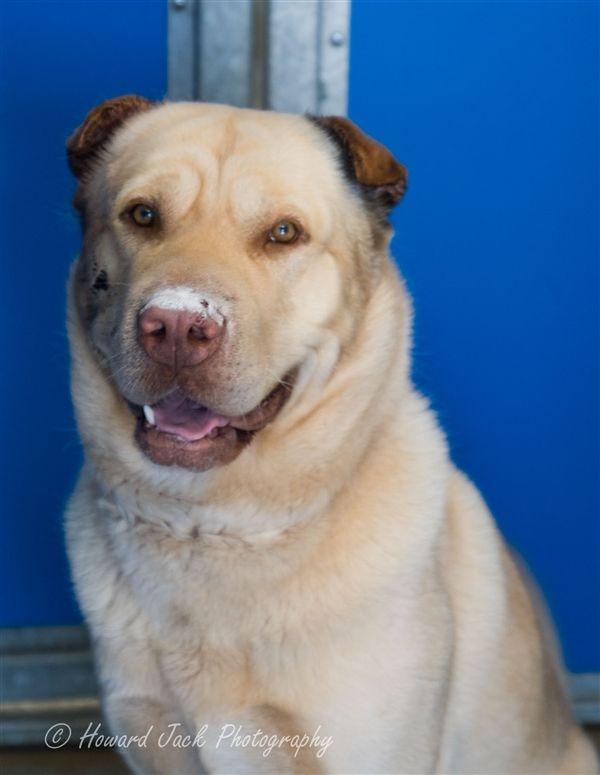 Simba Labrador X With Images Beautiful Dogs Labrador Dogs