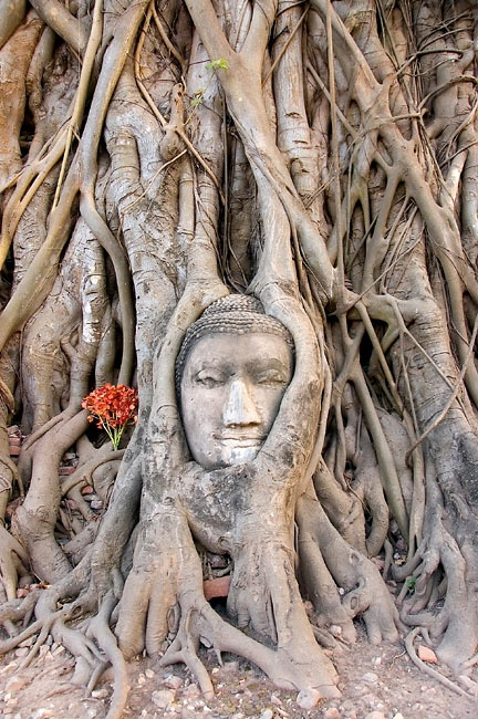 The nature connected with the art.       Isn't this head of Buddha incredible?
