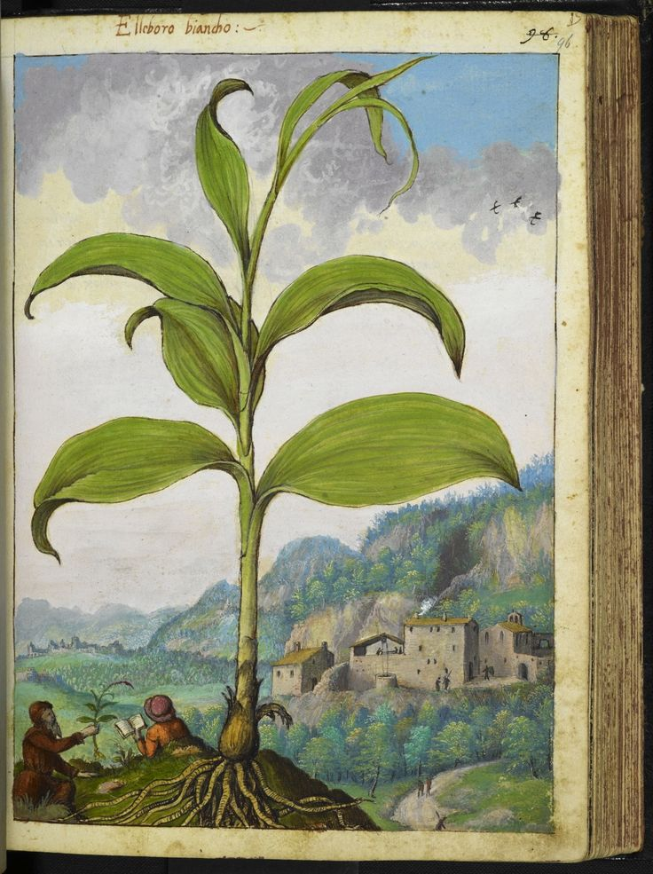 Full page botanical painting of Polygonatum or Elleboro bianco (Solomon's seal), with a village with a well in the background; on the left, a person in a hat reading a book and a man with a beard looking at a plant he has pulled up.   Dioscorides' 'De re medica', by Pietro Andrea Mattioli, Physician of Siena, assembled and illustrated by Gherardo Cibo—ca. 1564-1584.