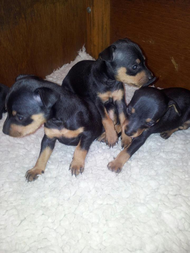 99 best images about miniature pinscher dogs on pinterest for Pinscher temperamento