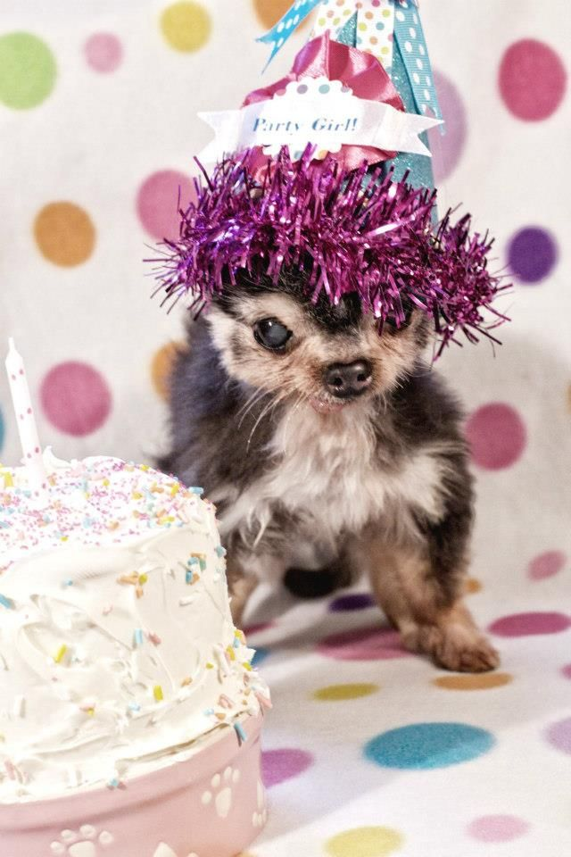 chihuahua rescue wisconsin 256 best chihuahuas holiday style images on pinterest 1705