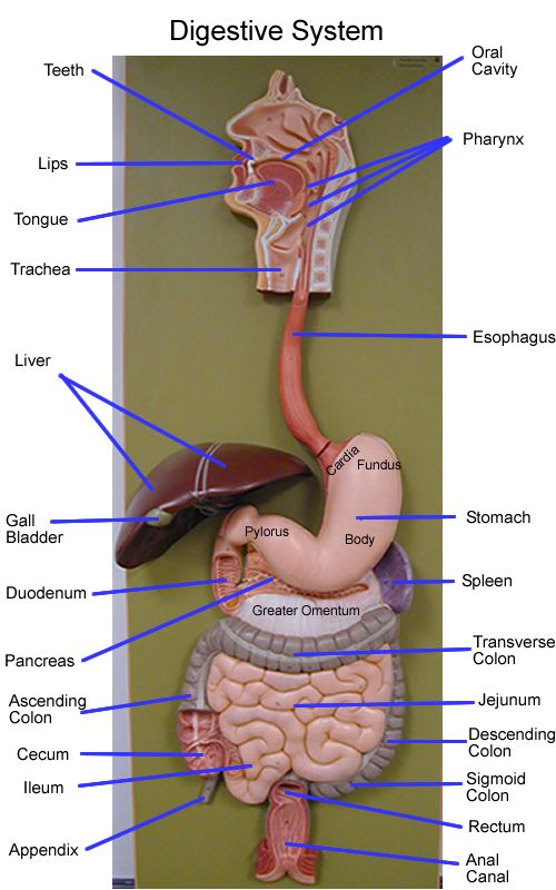 digestive system model - Google Search