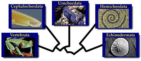 Introduction to the Deuterostomia