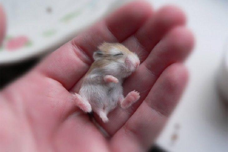 animales bebes Hamster