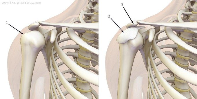 subacromial bursa of the shoulder