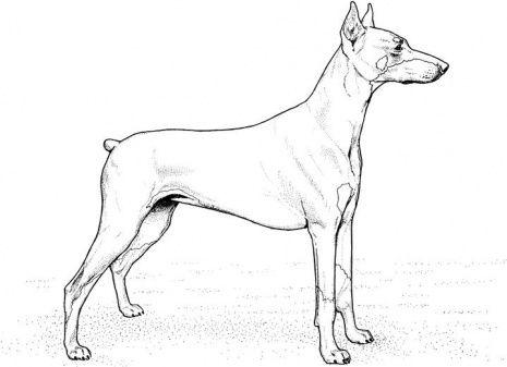 dog color pages printable Doberman Pinscher coloring